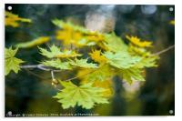 Autumn leaf., Acrylic Print