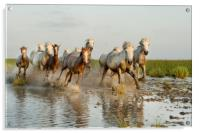 Mares and Foals in the Marshes, Acrylic Print