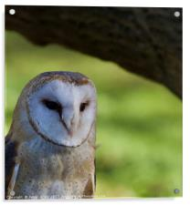 Cosy spot (Barn Owl), Acrylic Print