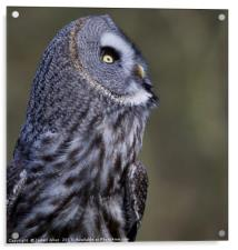What's going on up there!! Great grey owl (Strix n, Acrylic Print