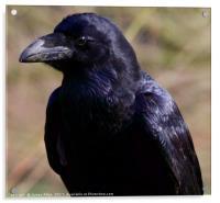 Raven , Acrylic Print