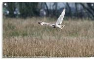 Short Eared Owl about to Land, Acrylic Print
