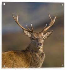 Highland Red deer Stag portrait, Acrylic Print