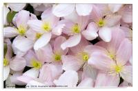 Clematis Montana Flowers in Bloom, Acrylic Print