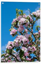 Apple blossom in April, Acrylic Print