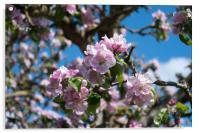 Apple blossom, Acrylic Print
