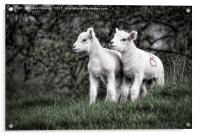 Pair of new born lambs, Acrylic Print