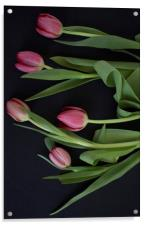 Pink tulips on black background, Acrylic Print