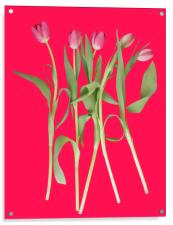 Tulips on pink background, Acrylic Print