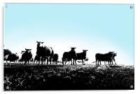 Yorkshire sheep, Acrylic Print