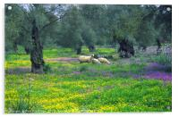 Sheep amongst the Olive Groves, Acrylic Print
