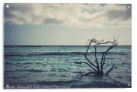 Dried branches emerge from the Carribean sea of Ar, Acrylic Print