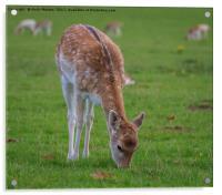 Fallow Deer - Dama Dama, Acrylic Print