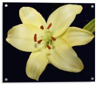 Auratum Lily, Acrylic Print