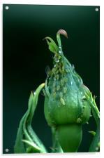 Greenfly, Acrylic Print