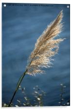 Grass seed head, Acrylic Print