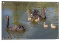 A pair of Black Swan with Four Cygnets, Acrylic Print