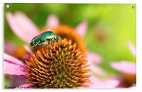 Bright green Chapfer on a flower of Echinacea, Acrylic Print