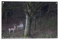 3 common fallow deers and 2 Melanistic Black deers, Acrylic Print