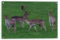 Wild Fallow buck deers in Somerset Uk , Acrylic Print