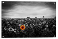 A field of sunflowers, Acrylic Print