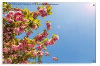 Cheerry Bloosoom Sakura , Acrylic Print