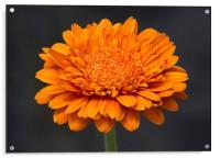 Orange Gerbera  3, Acrylic Print