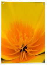 Yellow Poppy, Acrylic Print