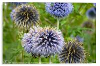 Wild Violet Blue Flowers in Norfolk, Acrylic Print