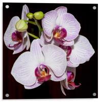 Orchids, Acrylic Print
