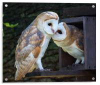 Young Barn Owls at nest box entrance, Acrylic Print