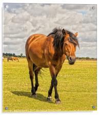 New Forest Pony, Acrylic Print