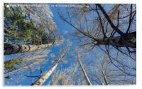 Trees from below, Acrylic Print