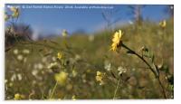 Yellow daisy, Acrylic Print