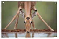 Impala yoga, Acrylic Print