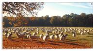 500 Sheep, Acrylic Print