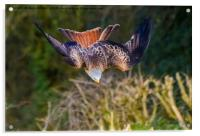 Red Kite Swooping, Acrylic Print
