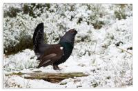 Western Capercaillie (Tetrao urogallus) lekking in, Acrylic Print