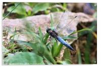 Broad-Bodied Chaser Dragonfly, Acrylic Print