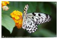 Tree Nymph Butterfly on a Flower, Acrylic Print