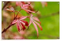 Vibrant Red Maple Leaf, Acrylic Print
