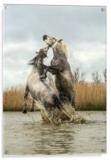 Stallions fighting Carmargue, Acrylic Print