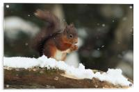 Red Squirrel in the Snow (Aberdeenshire, Scotland), Acrylic Print