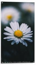 Daisy In The Grass, Acrylic Print