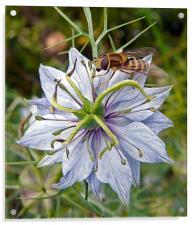 Wasp on Blue Flower, Acrylic Print