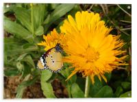 Butterfly on a yellow flower.... , Acrylic Print