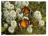 Two butterflies on a white flower... , Acrylic Print
