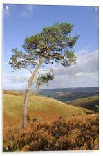 Scots pine , Acrylic Print