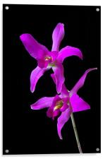 Pink Orchid , Acrylic Print