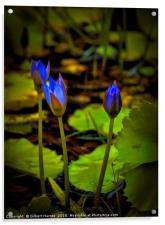 Water lilies in India, Acrylic Print
